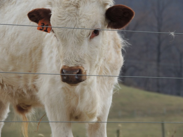 The cute, camera-ready cow poses for his blog pictures.