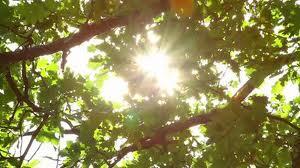 sunlighttrees