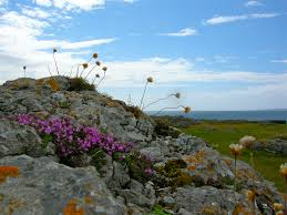 Flowers in the Burren, Ireland