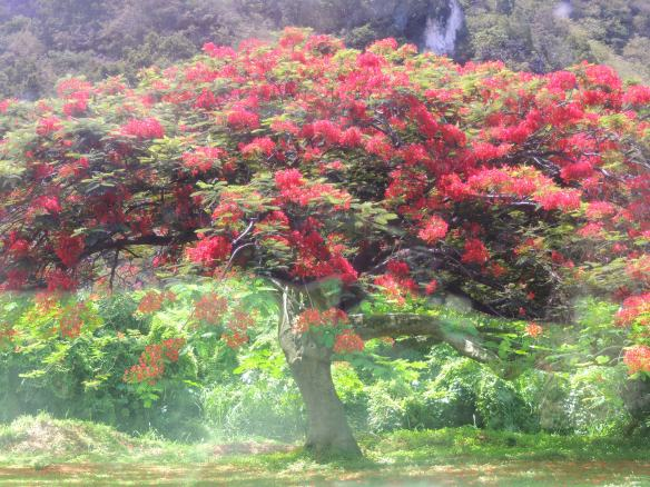 July Tree on St. Kitts