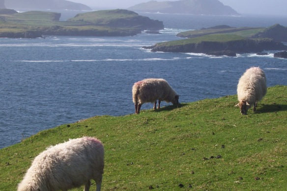 Sheep on the edge of Valentia Island