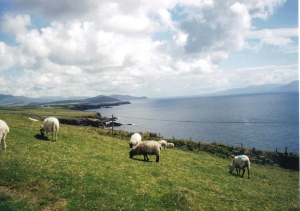 The Grazing Sheep of Dingle