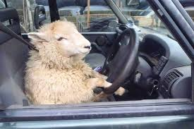 driving sheep