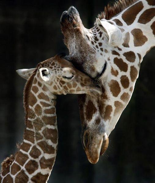 hugsgiraffe