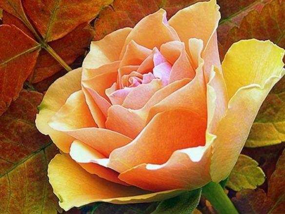 Autumn-Rose.jpg