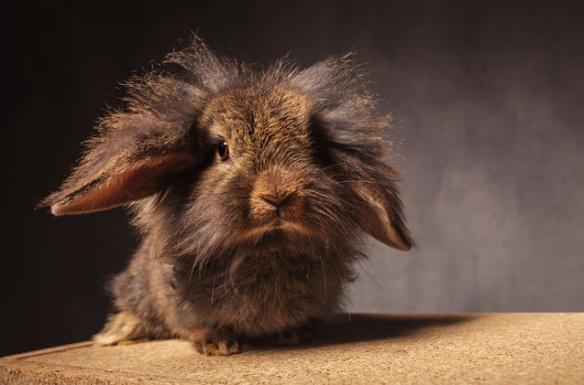 lionhead-rabbit-2.jpg